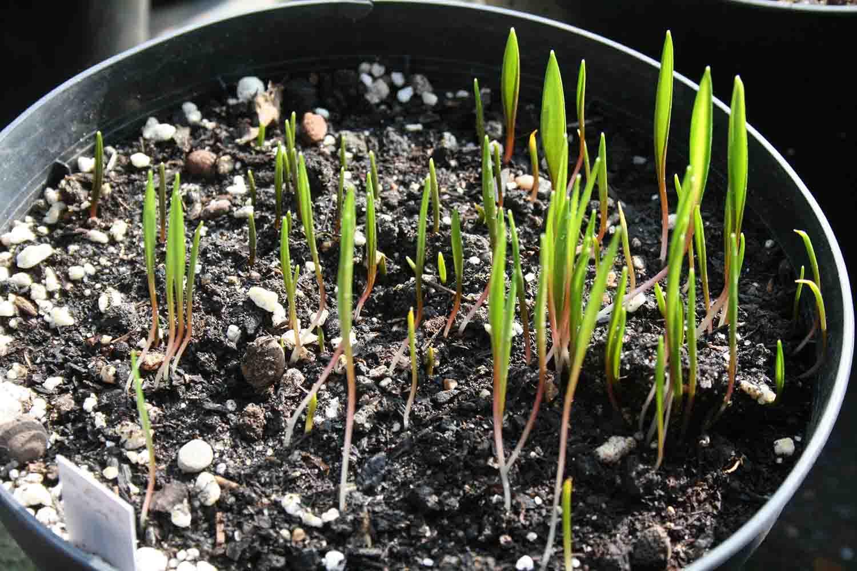 Aussaaten von Fritillaria messanensis ssp. gracilis