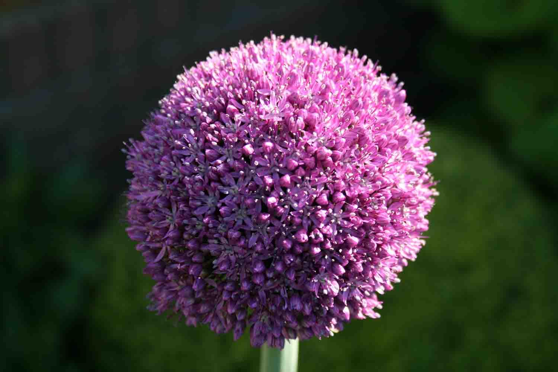 Allium Ambassador Blütenkugel