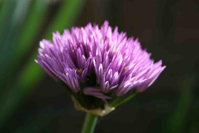 Allium cupuliferum Dolde