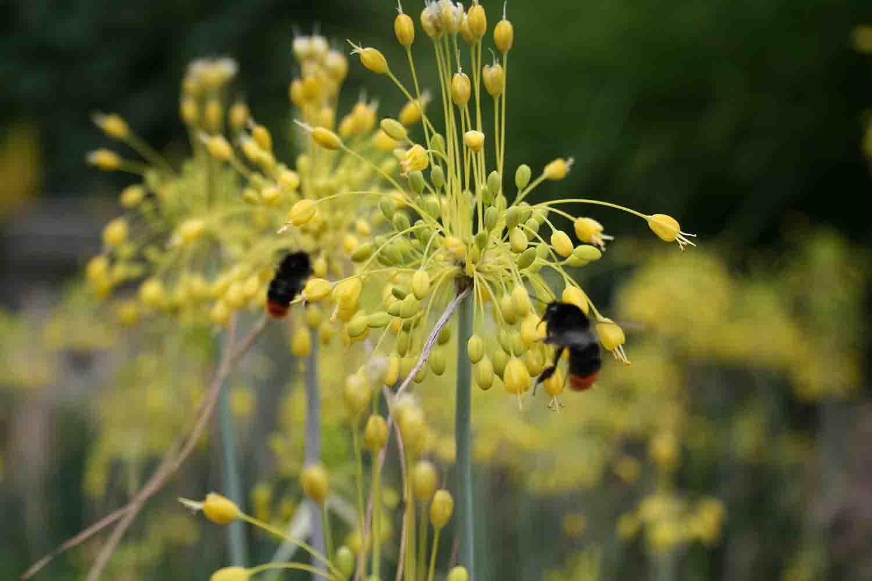 Allium flavum hängende Dolde