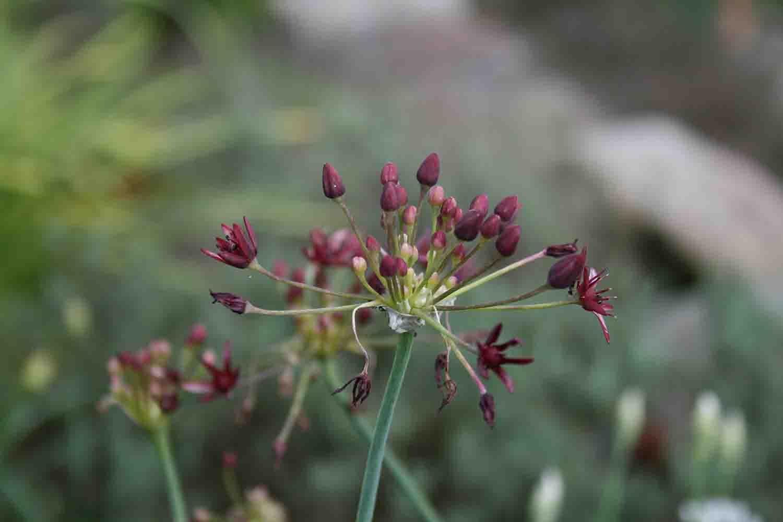 Allium glandulosum