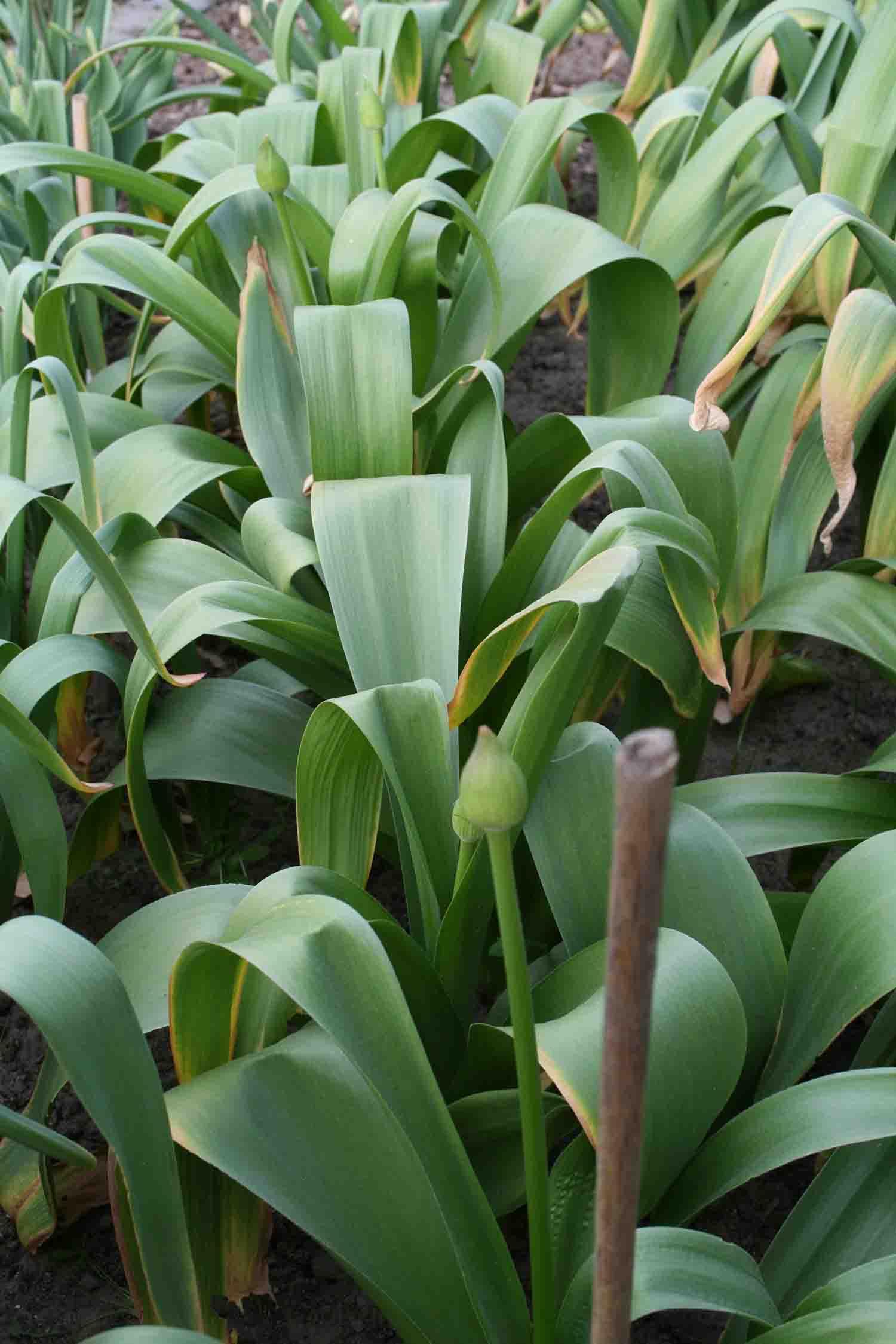 Allium ' Globus '