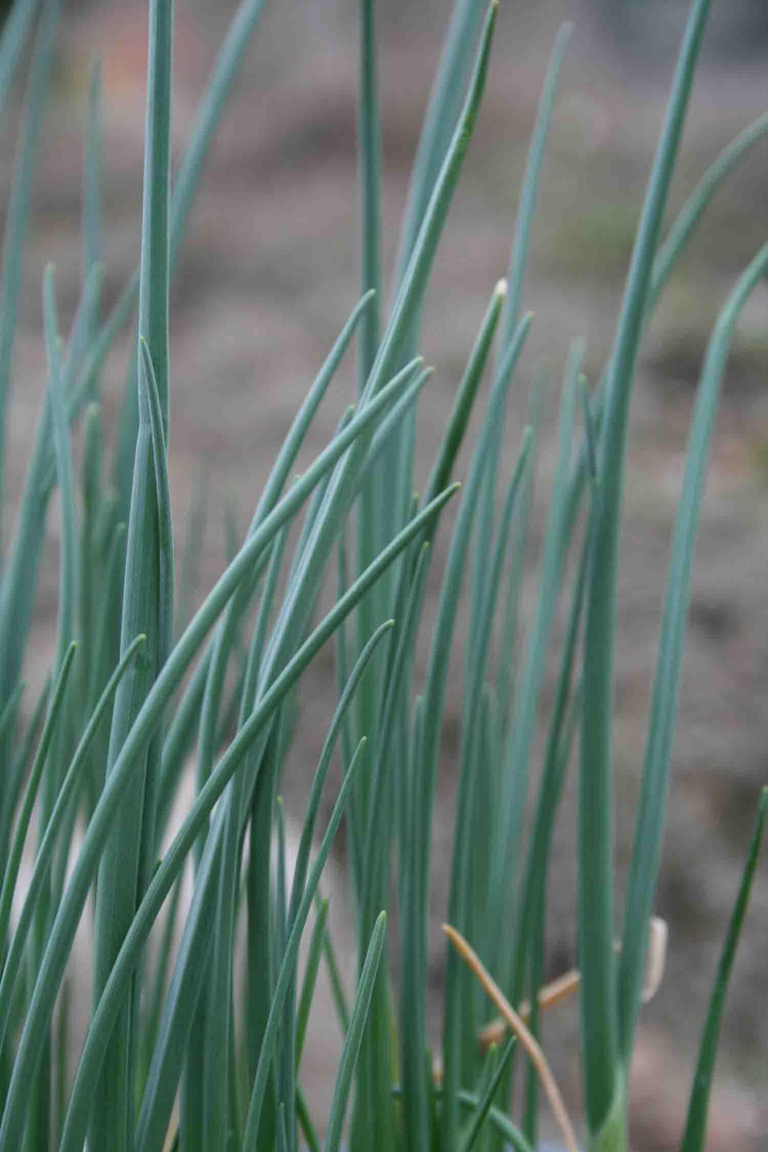 Allium griffithianum