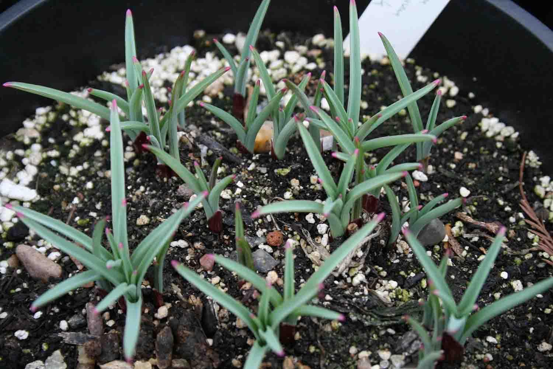 Allium jesdianum ' Akbulak '