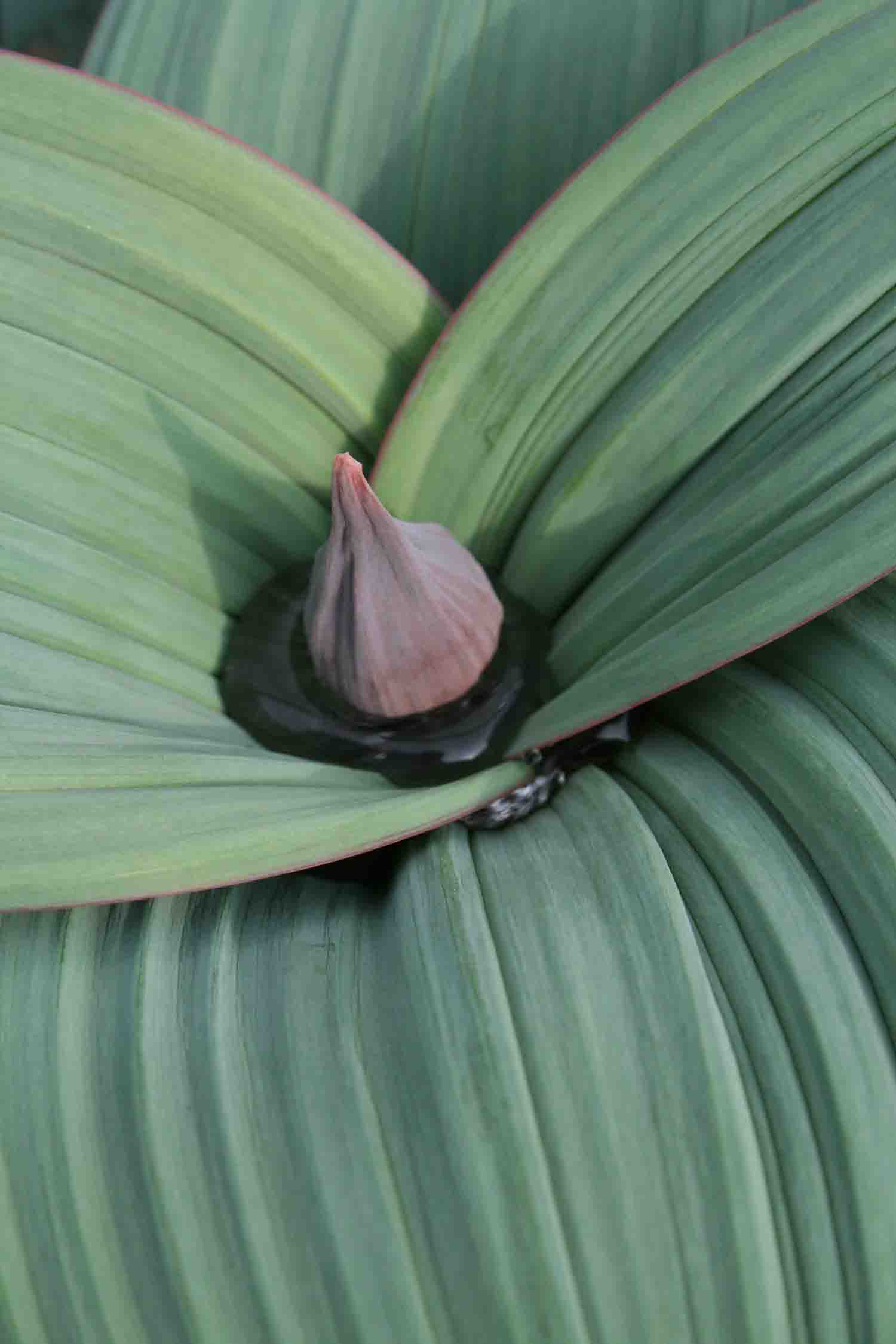 Allium karataviense ssp. henrikii