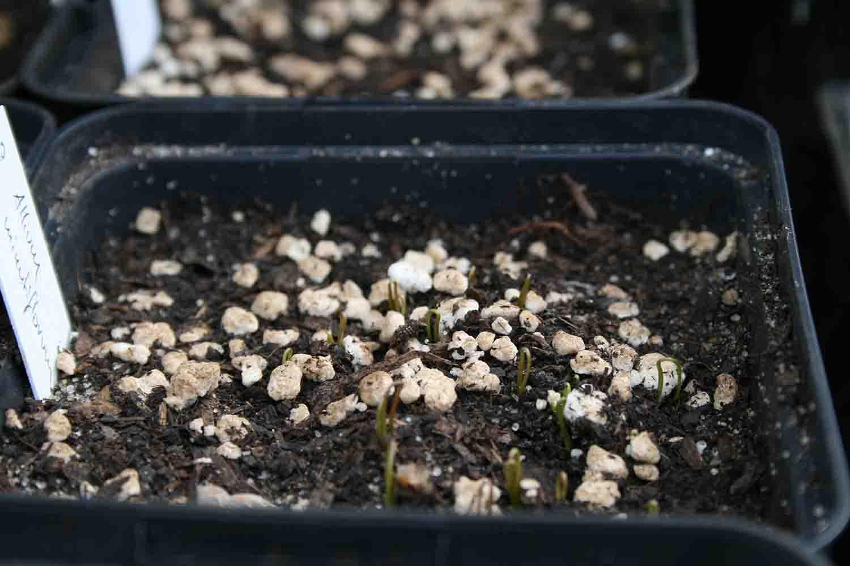 Allium minutiflorum