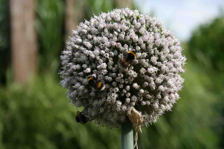 Hummeltrubel auf Allium porrum