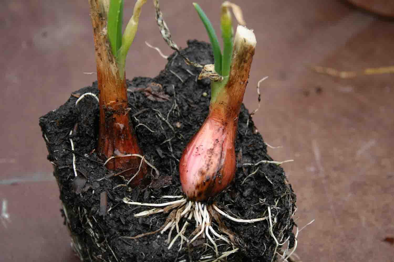 Allium ' Proliferum '