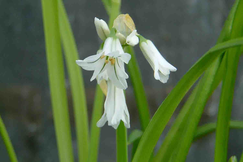Allium triquetrum glockenartige Blüten