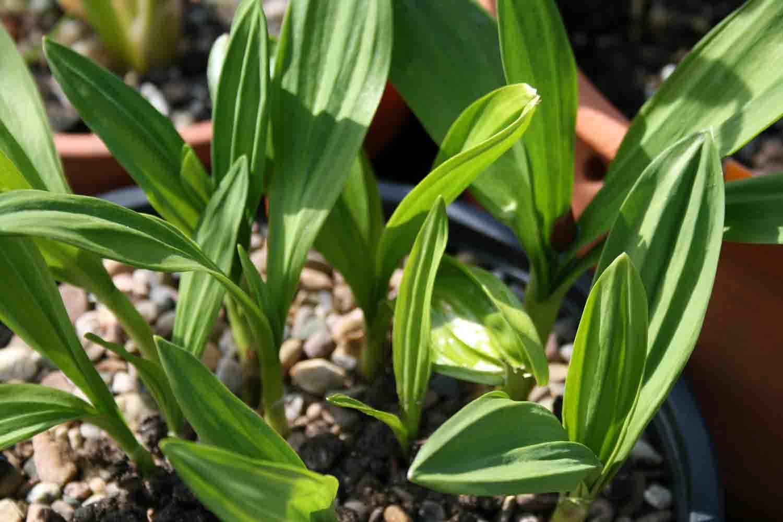 Allium victorialis Austrieb