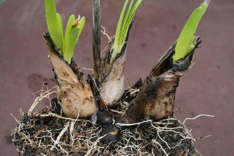 Allium violaceum
