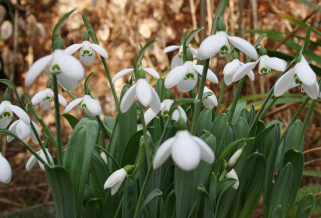 Galanthus ' Happy New Year '