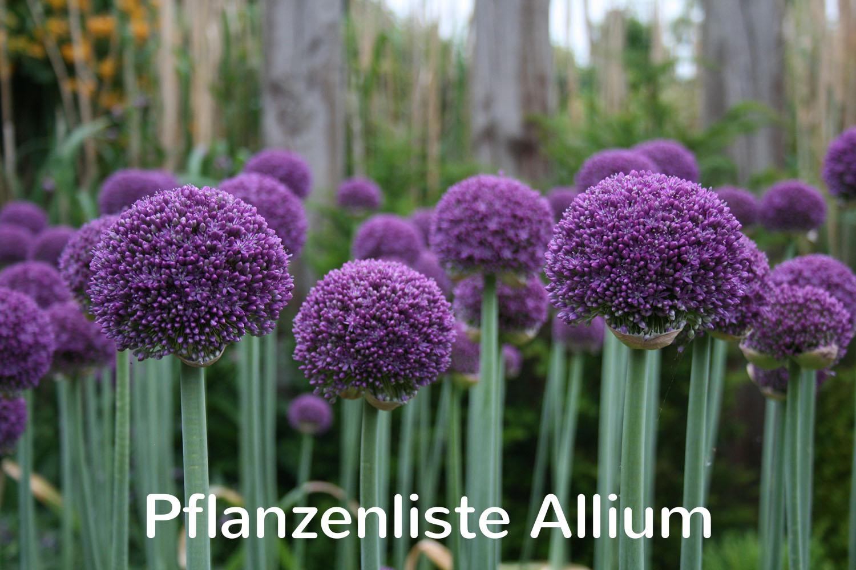 Pflanzenliste Allium