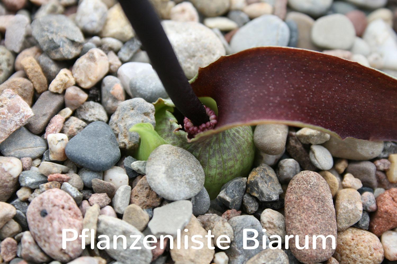 Pflanzenliste Biarum
