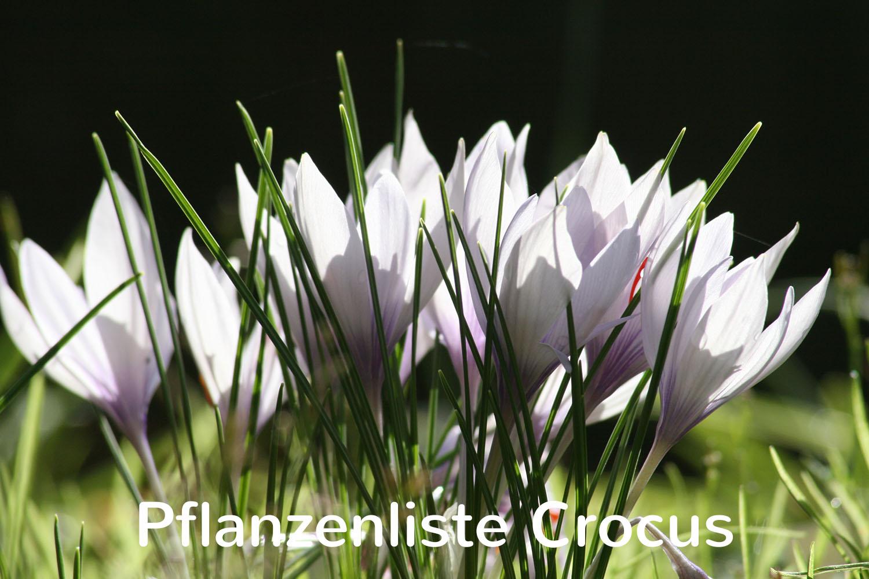 Pflanzenliste Crocus