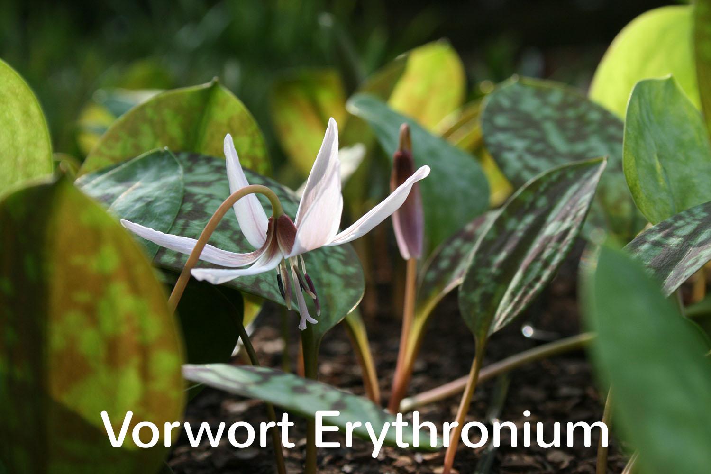 Vorwort Erythronium