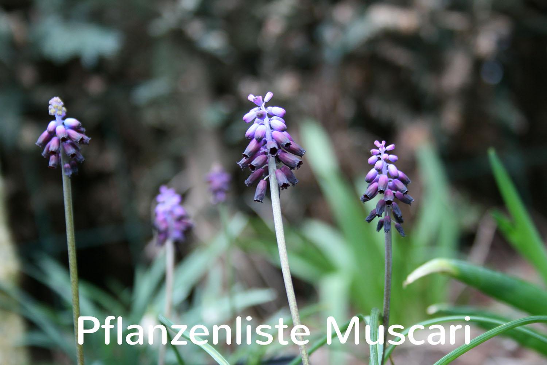 Pflanzenliste Muscari