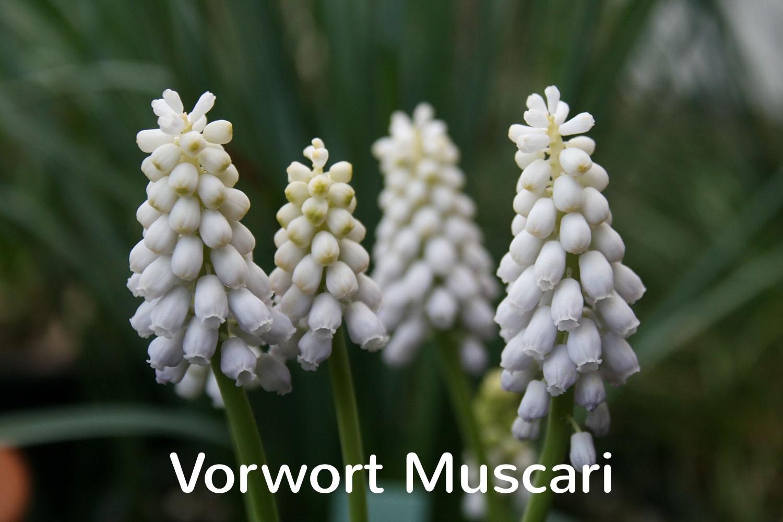 Vorwort Muscari