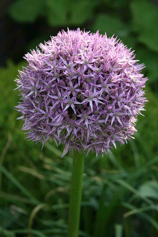 Allium ' Beau Regard '