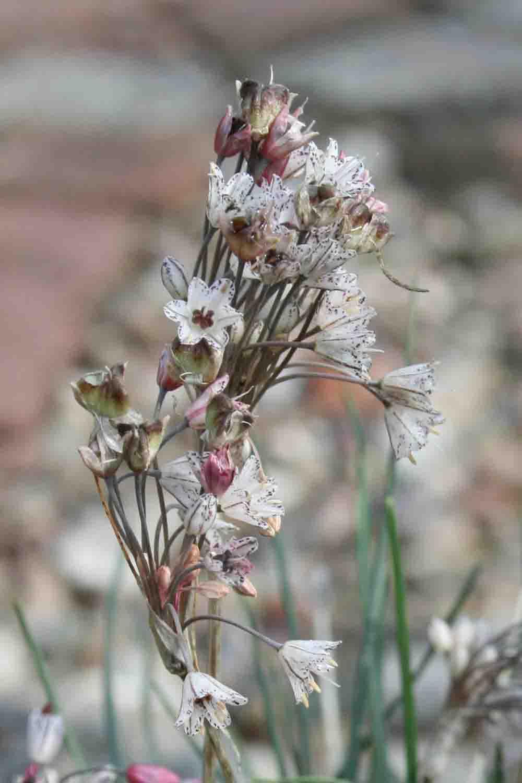 Allium callimischon ssp. haemostictum