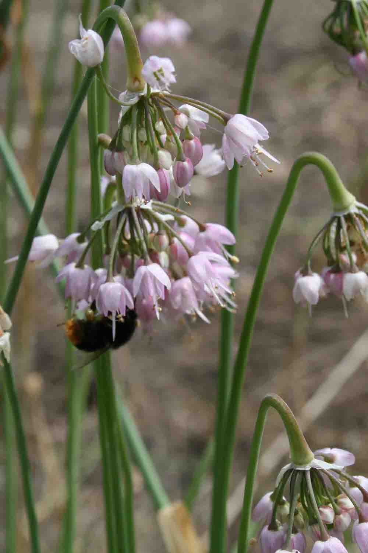 Allium cernuum var. obtusum 22