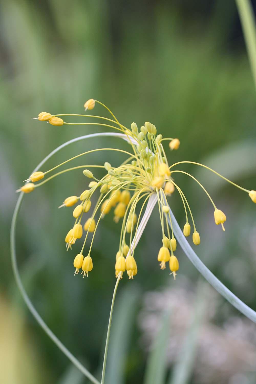 Allium chloranthum