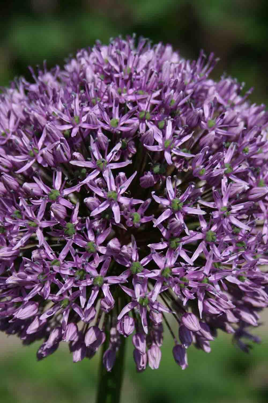 Allium ' Gladiator '