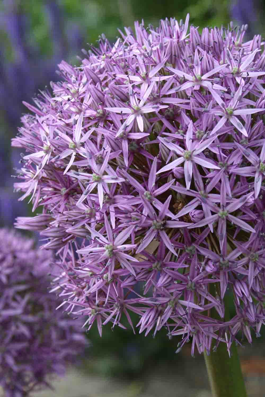 Allium ' Globemaster '