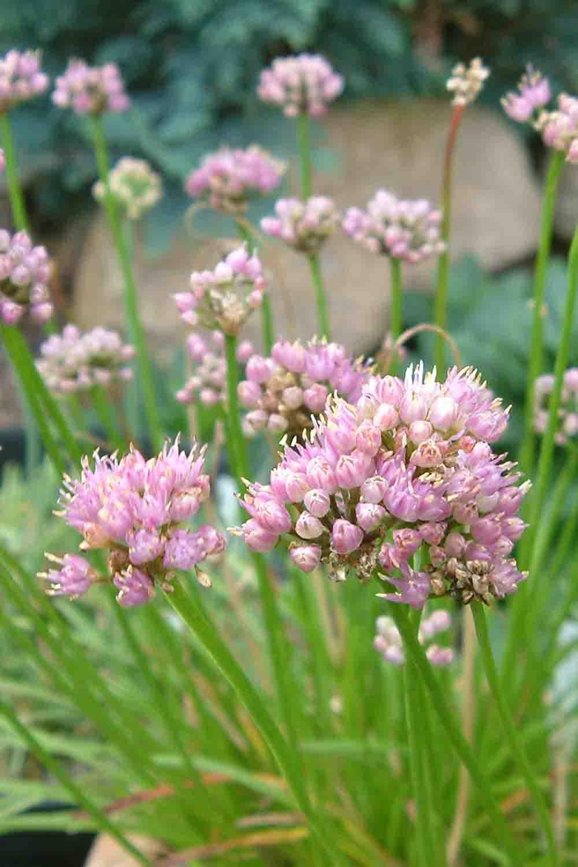Allium huteri