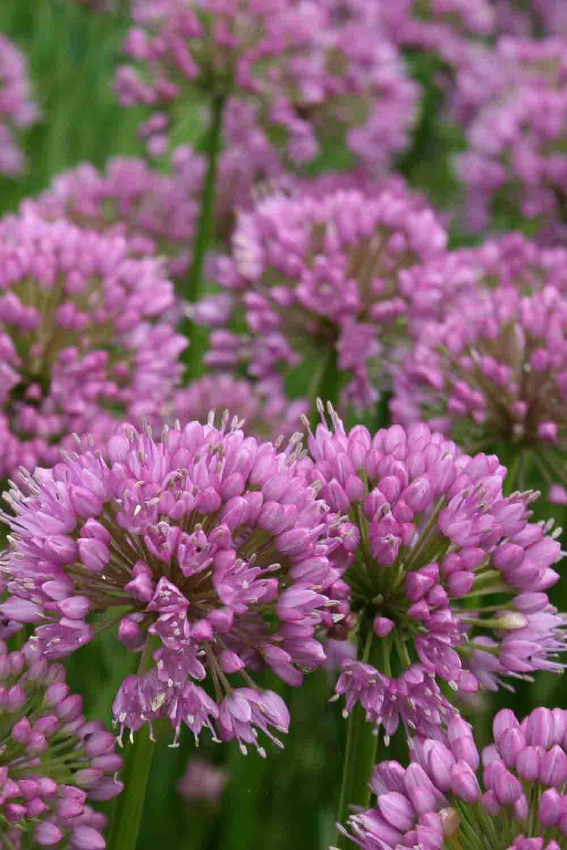 Allium ' Millenium '