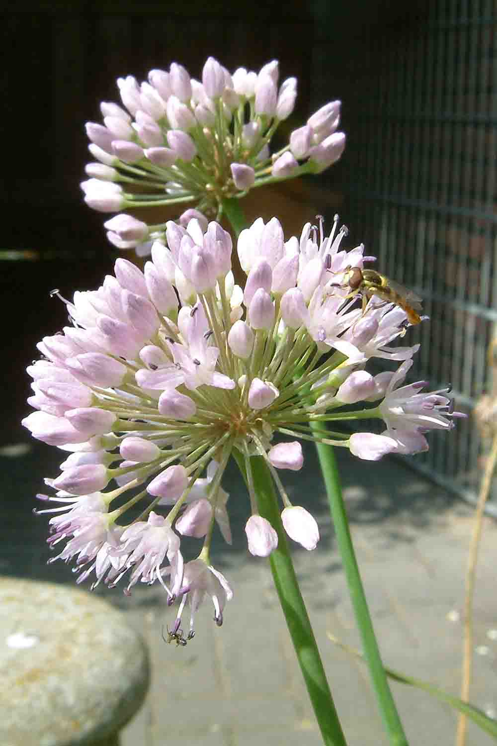 Allium murrayanum