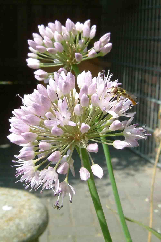 Allium murrayanum