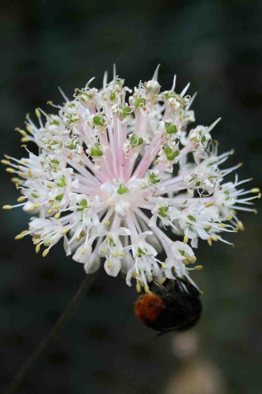 Allium ovalifolium var. leuconeurum
