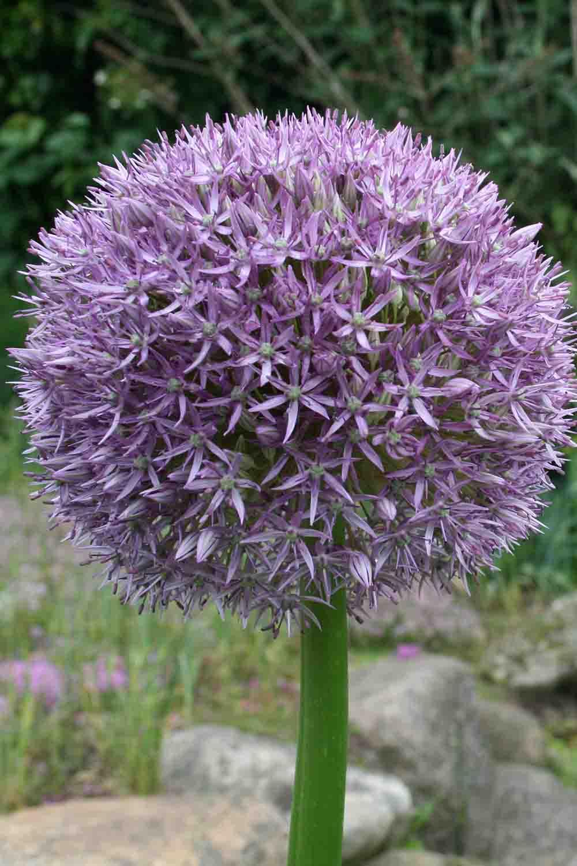 Allium ' Pinball Wizard '