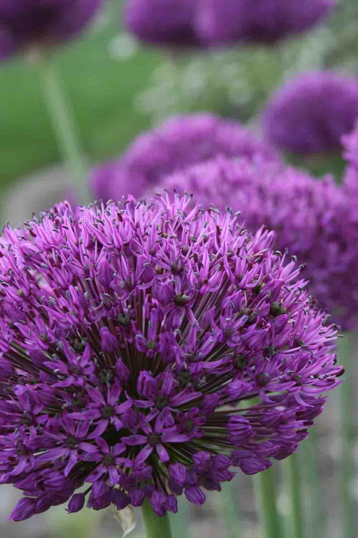 Allium ' Purple Surprise '