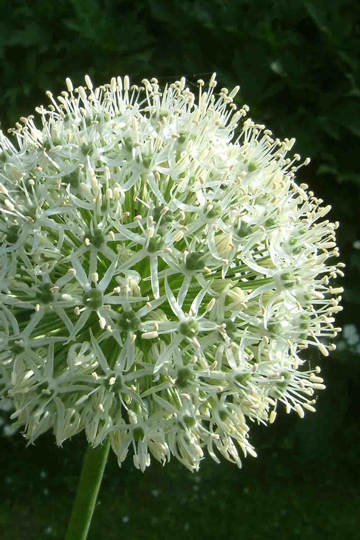 Allium rosenbachianum ' Album '