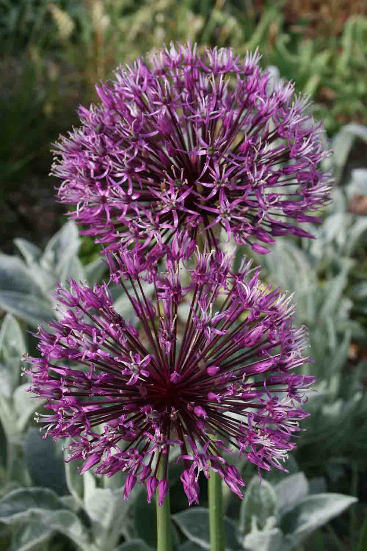 Allium rosenbachianum ' Early Emperor '