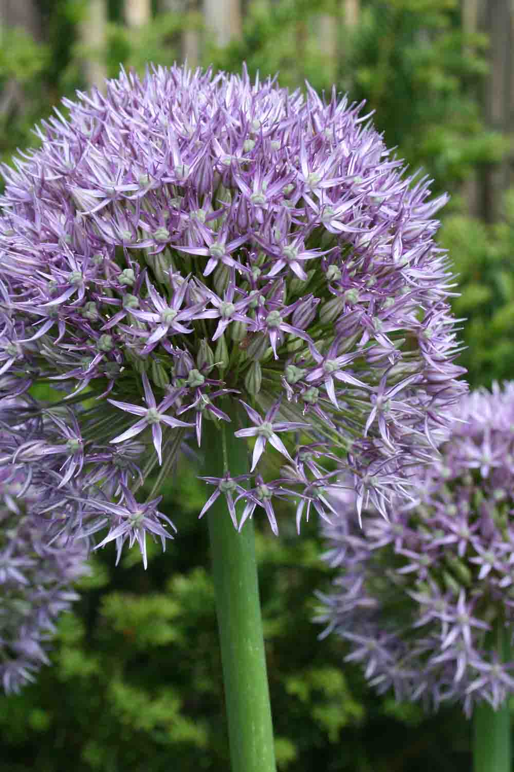Allium ' Round 'n Purple '