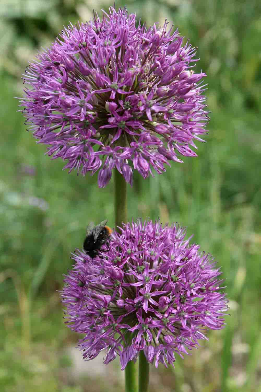 Allium suworowii