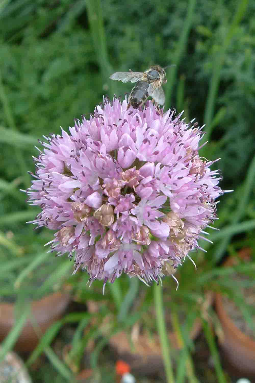 Allium turkestanicum