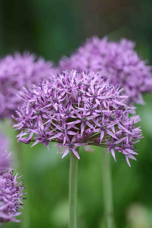 Allium ' Violet Beauty '