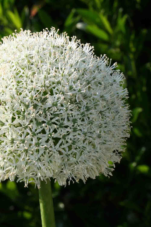 Allium ' White Giant '