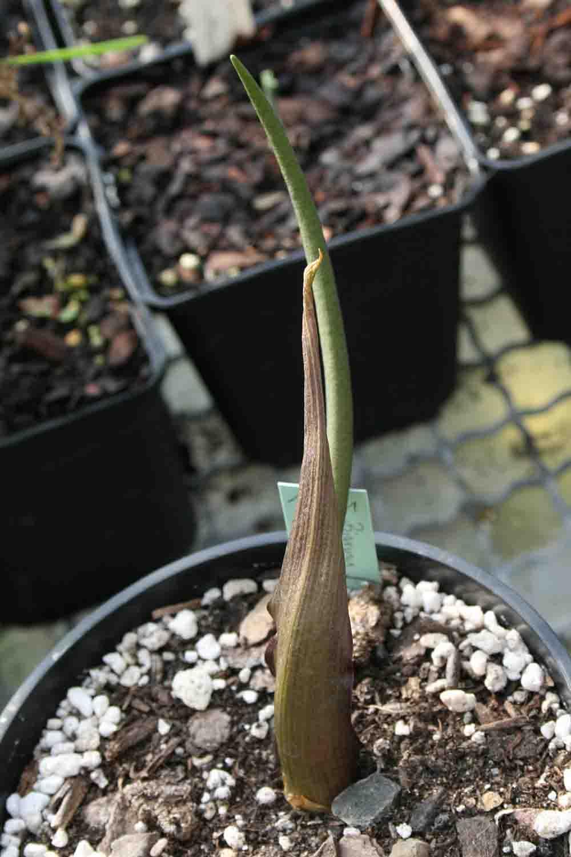 Biarum tenuifolium SL 174