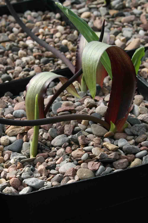 Biarum tenuifolium subsp. abbreviatum Form 2