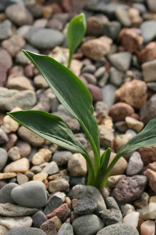 Biarum tenuifolium subsp. arundanum
