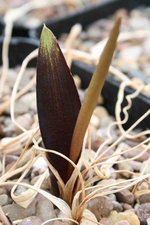 Biarum tenuifolium zelebori CRL 502