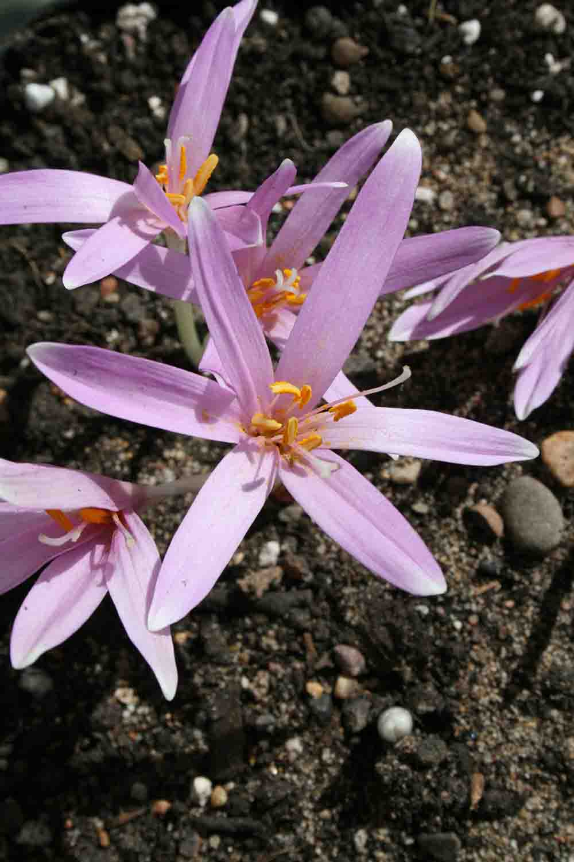 Colchicum cupanii var. pulverulentum