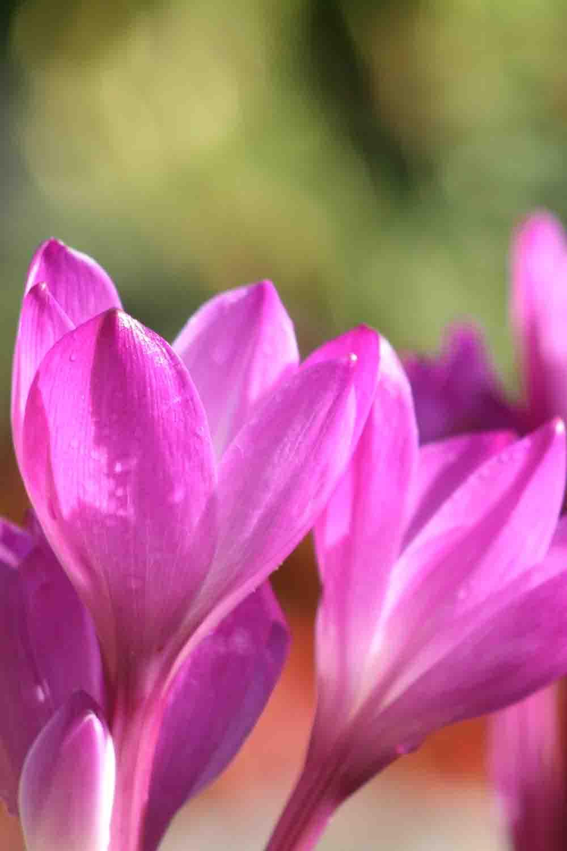 Colchicum speciosum ' Atrorubens '