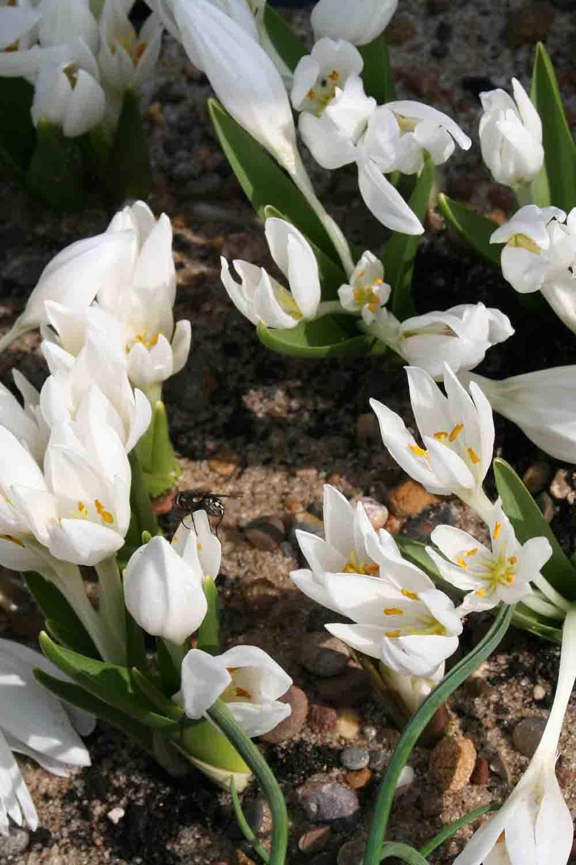 Colchicum szovitsii ' Snow White '