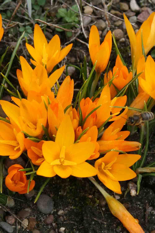 Crocus flavus ssp. flavus